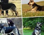 Крупные щенки Восточноевропейской овчарки