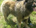 Кобель кавказской овчарки